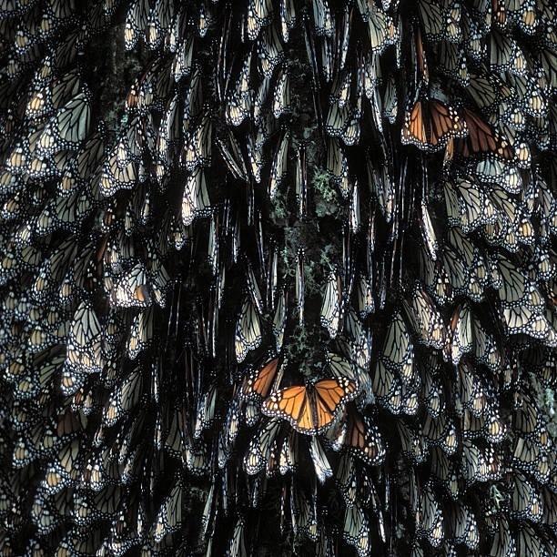 kraljevski leptir