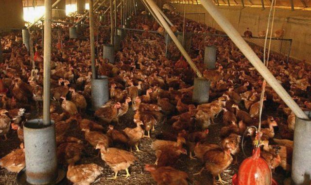 farma kokošaka